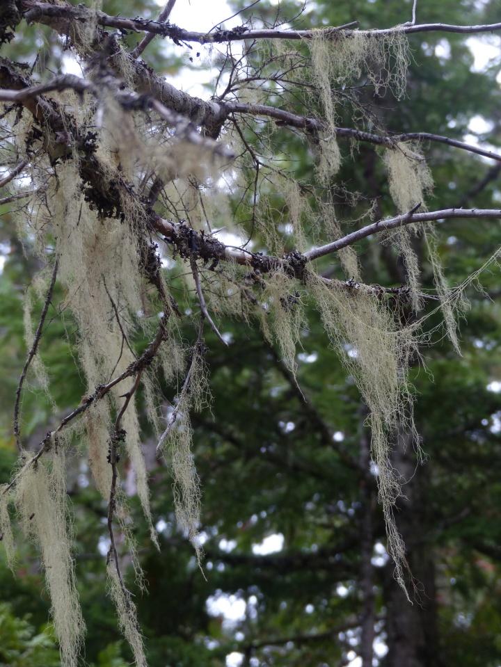 Wizard's Beard lichen