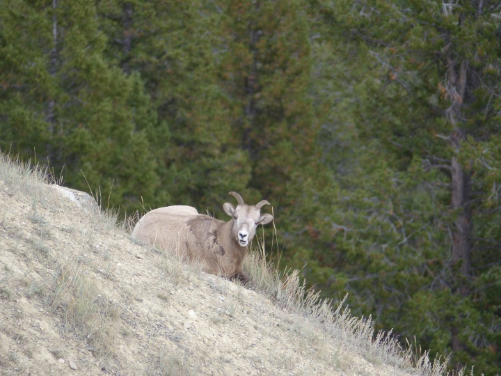 Bighorn mountain sheep