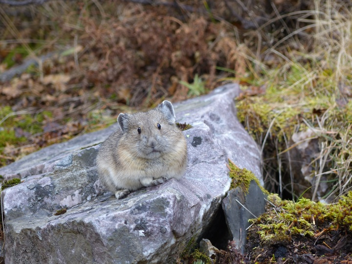 A pika at Lake Louise