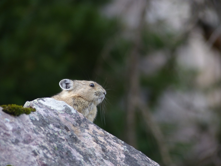 Pika Lake Louise