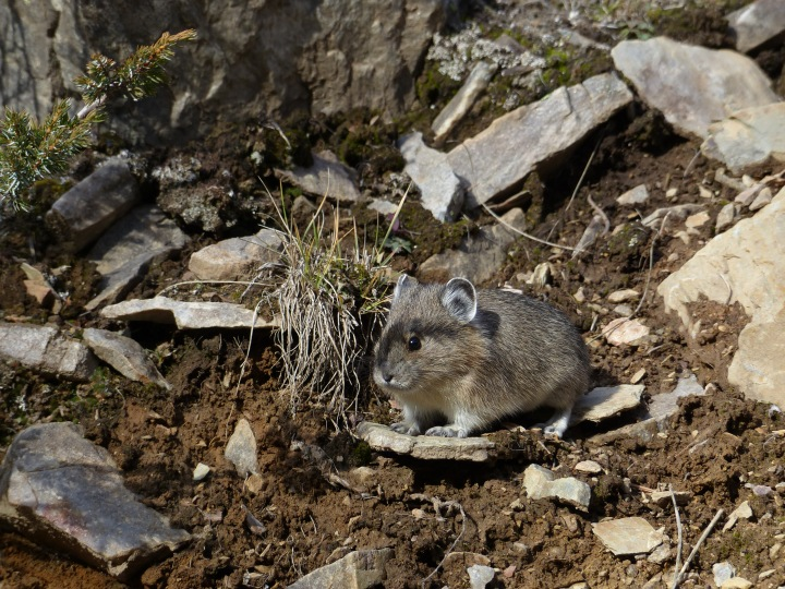 A pika at Moraine Lake