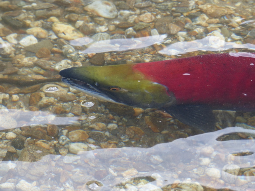 Salmon face