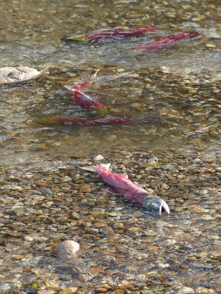 Salmon dying