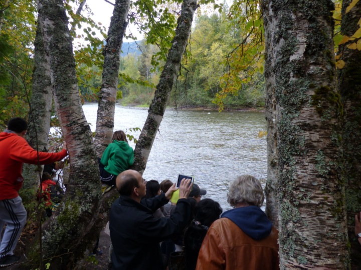 Adams River salmon run