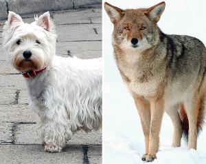 Westie or Coyote...