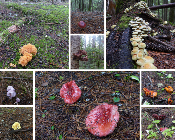 Multicoloured fungi