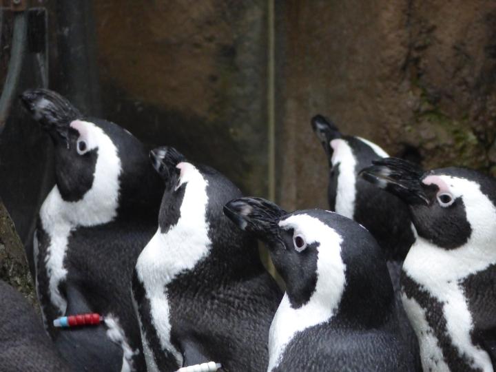 Penguins at Vancouver Aquarium