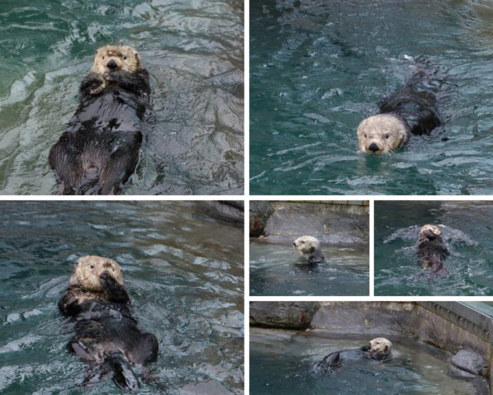 Sea Otters at Vancouver Aquarium