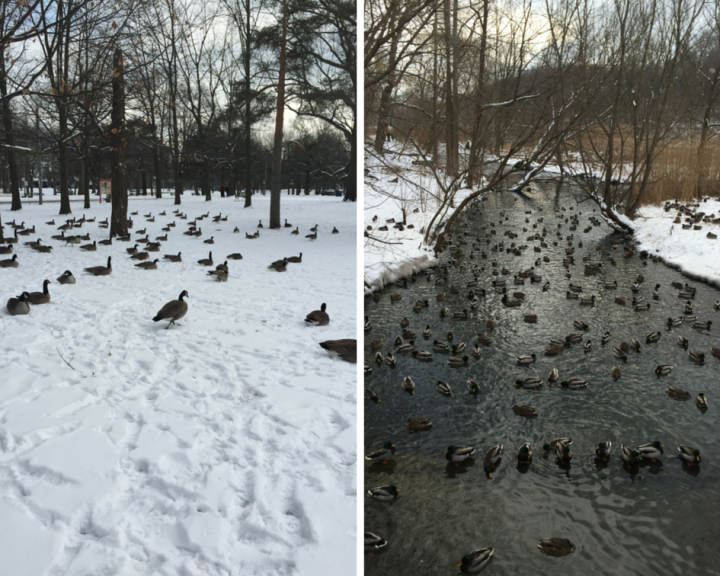Ducks and Canada Geese at High Park