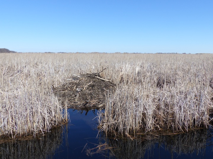 Point Pelee beaver lodge