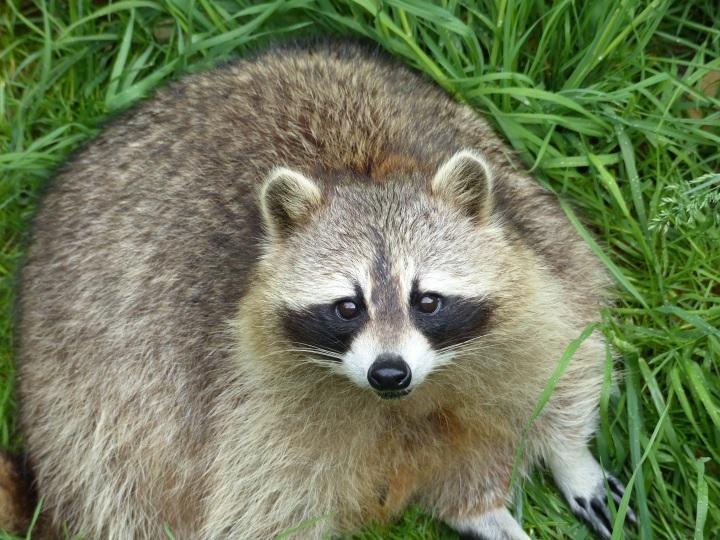 Raccoon Toronto Zoo