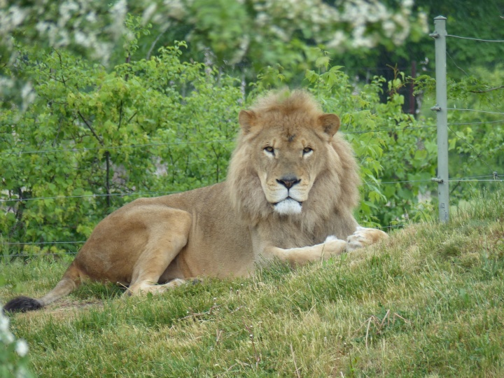 Lion at Toronto Zoo