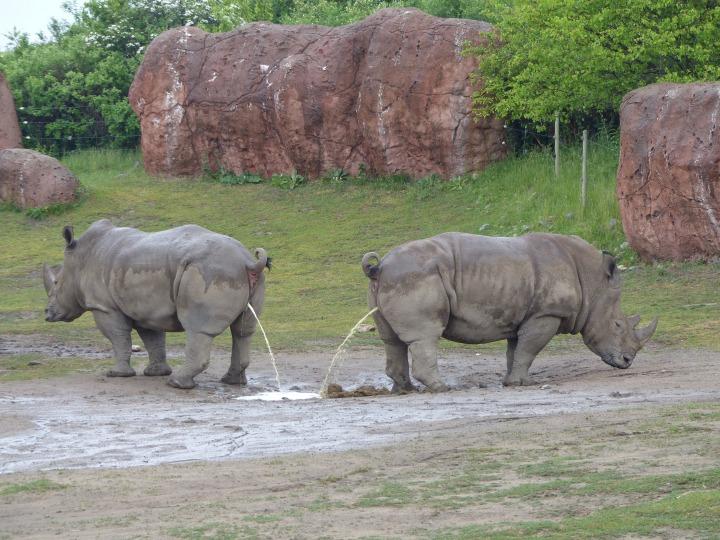 Rhino peeing at Toronto Zoo
