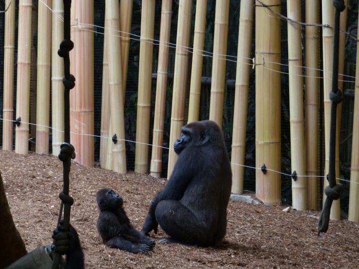 Nneka the baby Gorilla at Toronto Zoo
