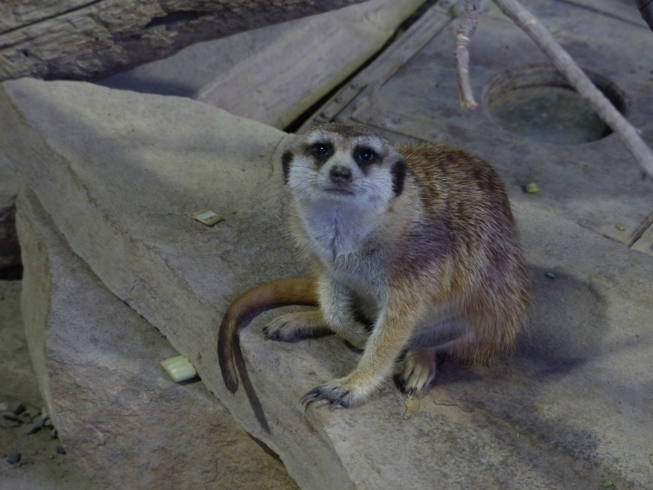 Meerkat at Toronto Zoo