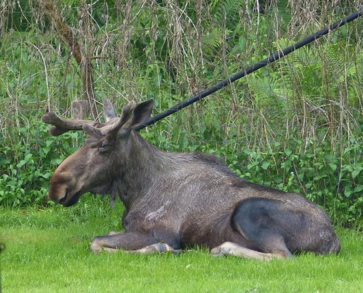 Toronto Zoo Moose