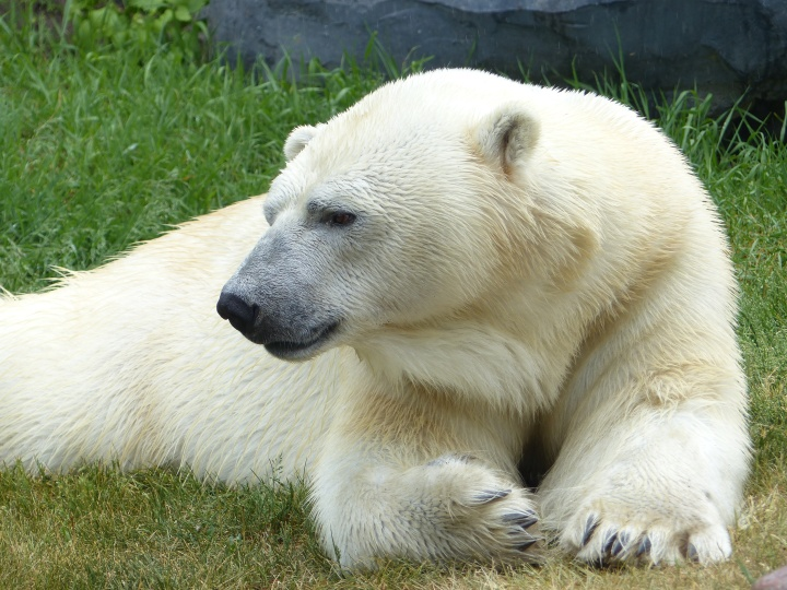 Polar bear Toronto Zoo
