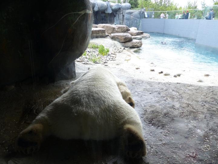 Polar bear bum