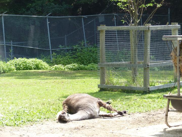 Llama High Park Zoo