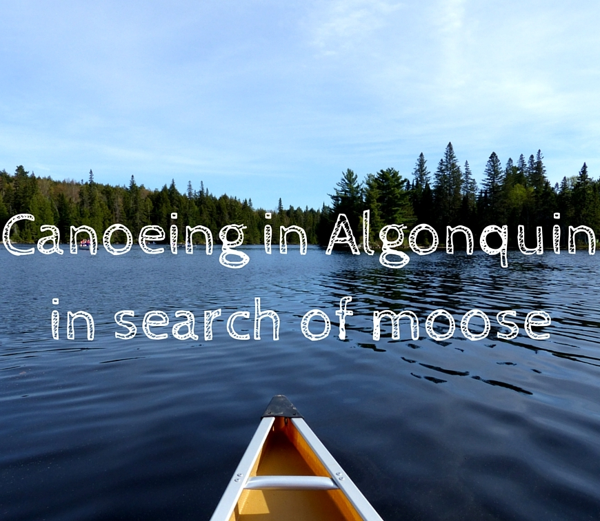 Algonquin canoeing moose