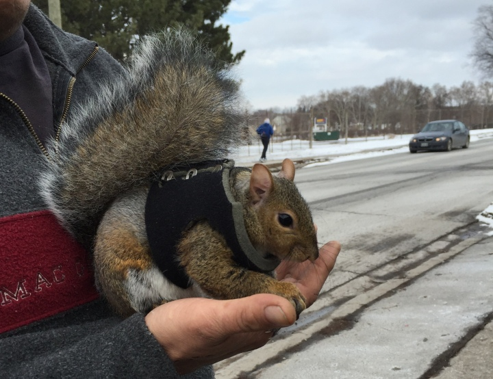 Pet squirrel St Catharines