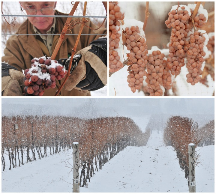 Niagara Icewine and vines