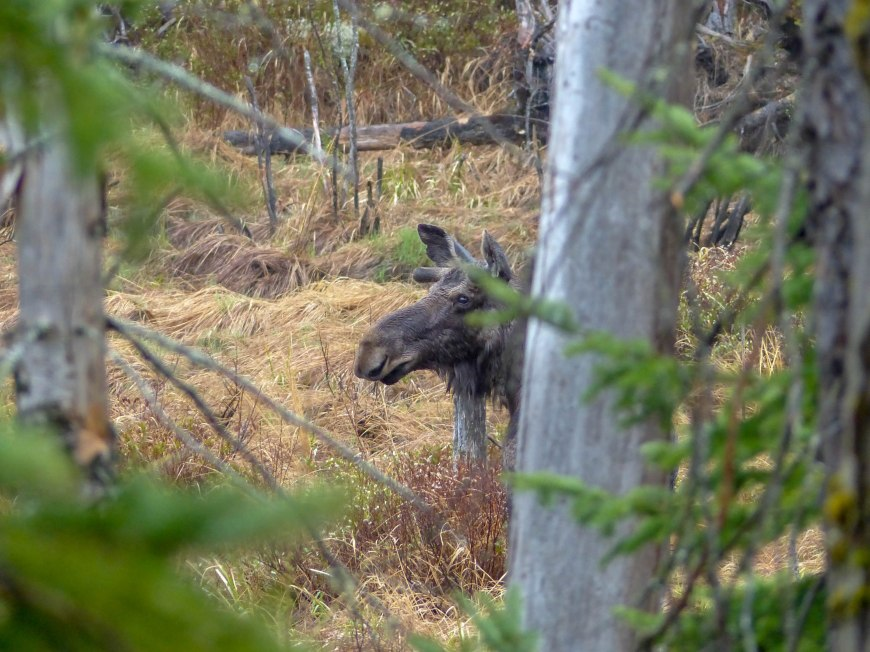 Algonquin moose May 2018